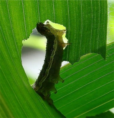 A caterpillar eating a corn leaf Image credit: Penn State