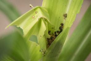 Fall armyworm larvae are voracious feeders on leaves in the confined whorls of corn plants, and by necessity the insects defecate nearby in the crevasses where the leaves meet the stalks. Image credit: Penn State