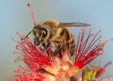 Scientists will use honeybees and fruit flies as models to better understand the physical space of odors — how natural odors occur and how an organism must detect them against complex backgrounds. Photo credit: Christofer Bang