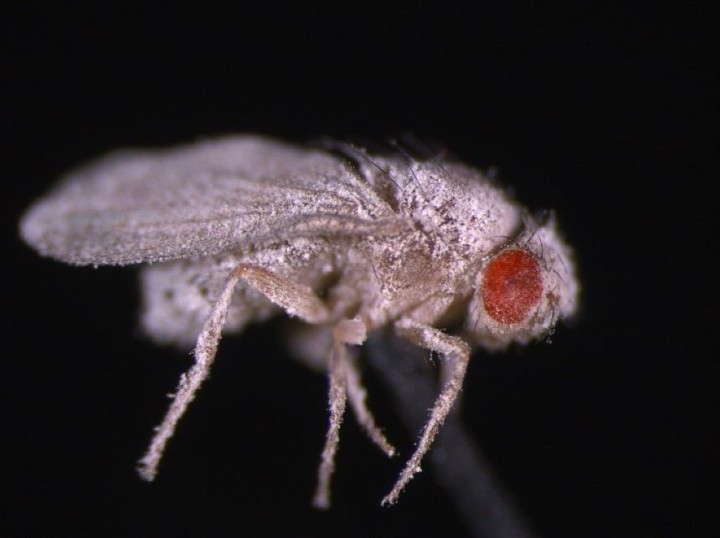 A fruit fly infected with fungus. Fruit flies that developed aboard the International Space Station showed weakened immunity to fungal infections post-spaceflight. Credits: Deborah Kimbrell