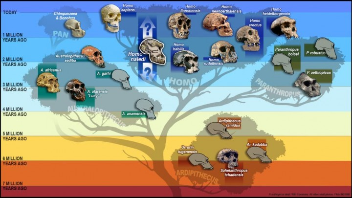 """Tree of humankind with skulls representing the different species, including the newest addition """"Homo Naledi"""" added to the """"Homo"""" branch of the tree. This illustration was created for an article about paleoanthropologist John Hawks, a leader of the Rising Star Expedition that discovered Homo Naledi, this new species of hominid, whose partial skull has been added to the hominid tree here. Homo Naledi existed in South Africa. Timeline: hundreds of thousands to millions of years ago (at time of this illustration, this was the current time span known). (Illustration by S.V. Medaris/UW-Madison)"""