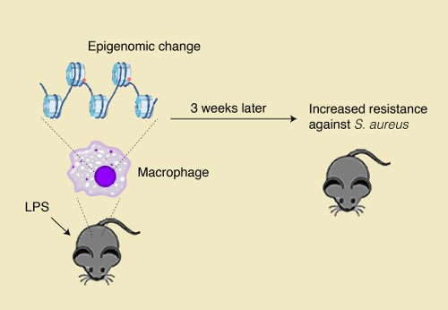 Some discoveries are hard to explain. In short - innate immunological memory is based on epigenomic changes induced by pathogens and in the future it may help to create better, more effective vaccines. Image credit: riken.jp
