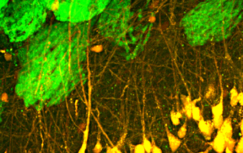 Olfactory sensory neurons (in green) transfer information to olfactory projection neurons (in yellow). These sensory neurons carry information from the nose, to the olfactory bulb and end in spherical structures called glomeruli. One of the projects will work to understand how the neural code for odors is transformed at this stage of processing in the brain. Image credit: J. McGann and M. Wachowiak