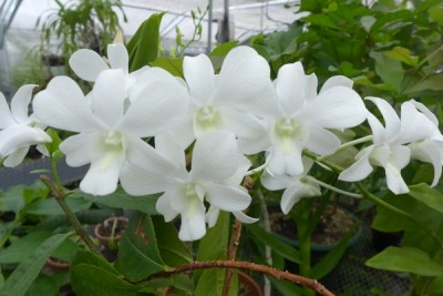 "This orchid is a member of the genus Dendrobium, which is native to Asia and parts of the Pacific Ocean. Dendrobium translates as ""one who lives on trees."" Image credit: David Tenenbaum"