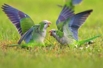 Monk Parakeets Fighting. The ability to determine rank amongst monk parakeets appears to be an act of cognitive reasoning. Image credit: Greg Matthews