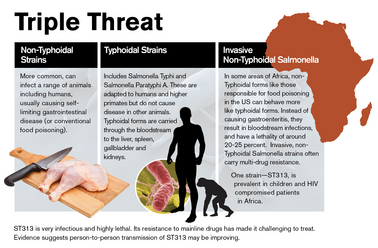 This graphic outlines various forms of infectious salmonella, including ST313, a strain responsible for lethal outbreaks in Africa. Image credit: Michael Northrop