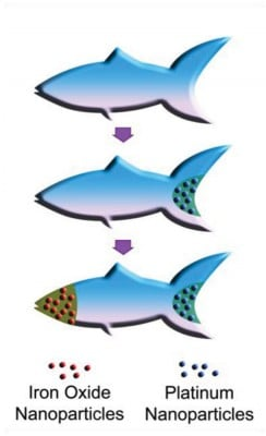 Schematic illustration of the process of functionalizing the microfish. Platinum nanoparticles are first loaded into the tail of the fish for propulsion via reaction with hydrogen peroxide. Next, iron oxide nanoparticles are loaded into the head of the fish for magnetic control. Image credit: W. Zhu and J. Li, UC San Diego Jacobs School of Engineering.
