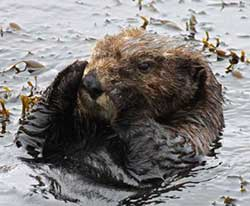 This southern sea otter is settling down to rest in a small patch of Egregia (feather boa kelp)