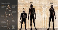 A composite skeleton of Homo naledi's overall body plan and an illustration of how it compares to Homo species such as Homo erectus and australopithecines such as Lucy. (from the October issue of National Geographic magazine). Image credit: Skeleton: Stefan Fichtel/National Geographic Body Comparison Painting: John Gurche; Sources: Lee Berger and Peter Schmid, Wits; John Hawks, University of Wisconsin-Madison