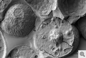 Baker's yeast (Saccharomyces cerevisiae). Image credit: Prof. Dr. Gerhard Wanner, LMU Munich, Faculty of Biology.