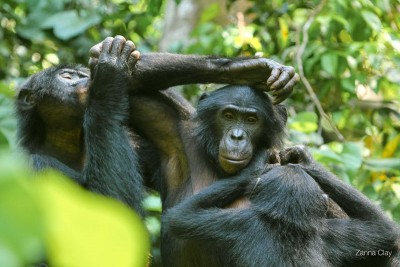 Social interactions among bonobos - pointing gestures and pantomime, too, are deployed in communication. Image credit: LuiKotale Bonobo Project/ Zana Clay