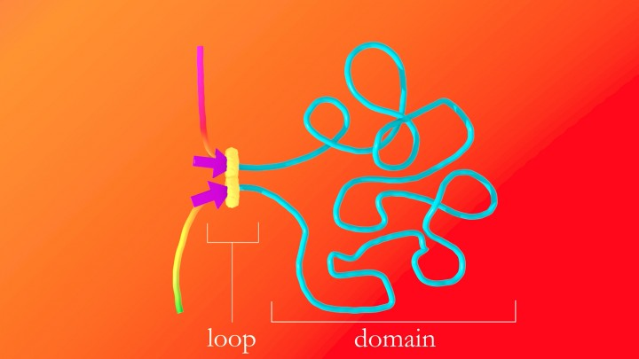 The protein complex that forms DNA loops takes up slack by feeding DNA through from either direction until it hits the DNA keyword, or motif, which acts like a brake. The motifs must point in the correct direction; if they point away from the protein complex, it will not recognize them and will keep taking up slack. Credit: A. Sanborn, S. Rao