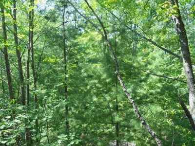 Photo shows a couple of young pine trees below mature broadleaf aspens, reflecting the very mixed, segregated nature of this particular forest.