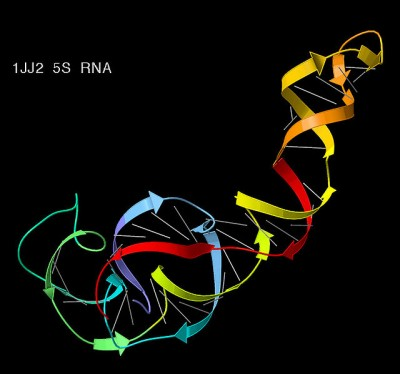 3D structure of the 5S ribosomal RNA component (PDB file 1JJ2), with gray lines for base pairs and ribbon arrows for double-helical regions, colored blue to red from 5' to 3' end of the chain. Image credit: Jane Richardson, Wikimedia Commons