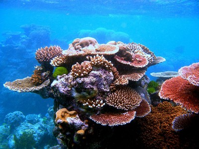 A diversity of corals. Image credit: Toby Hudson, Wikimedia Commons
