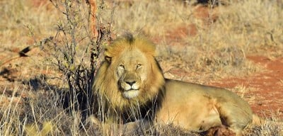Half the lion populations in key regions of Africa will be lost over the next two decades, according to a new study. Image credit: South African Tourism (Flickr), Creative Commons
