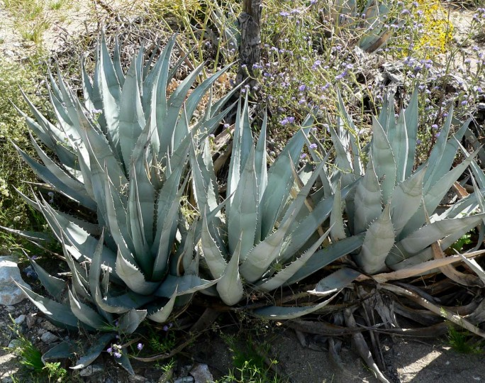 Because it uses water extremely efficiently and requires very little care, agave is a perfect plant for biofuel production. In a year from one hectare of agaves it is possible to produce up to 15,000 litres of bioethanol, but waste from other agave industries can be used too. Image credit: Stan Shebs via Wikimedia, CC BY-SA 3.0