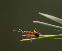 Ant queens stay close to home in their hunt for a mate. Image credit: Emma Vitikainen.