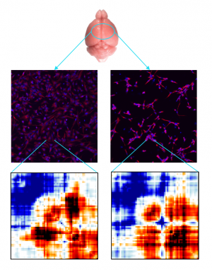 3D genome folding maps exhibit marked differences in two different brain cell types.