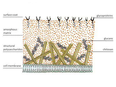 Cell wall structure of Fungi. Image credit: Maya and Rike, Wikimedia Commons