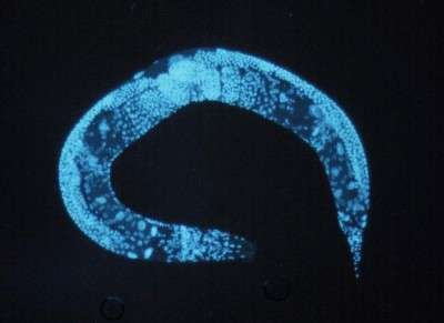 Enlarged C. elegans. Image courtesy of National Human Genome Research Institute