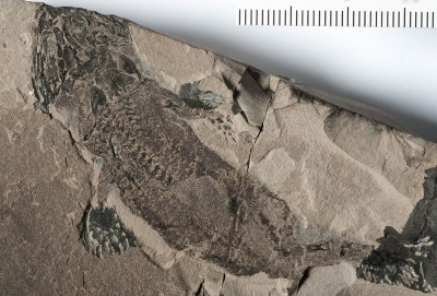 Well-preserved fossils, such as this Micromelerpeton credneri, allowed researchers to track the evoluton of regeneration.  Image credit: Hwa-Ja Götz/MfN Berlin