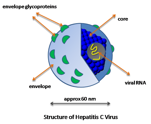 Around 500 thousand people die each year from the hepatitis C infection and currently there are 130–150 million people globally who live with this disease. There are no vaccines and only education, hygiene and safety with medical waste are regarded as possible preventive measures, but therapies are already being developed. Image credit: GrahamColm via Wikimedia, CC BY-SA 3.0
