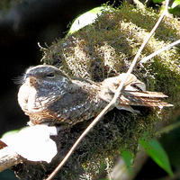 Ladder-tailed-Nightjar