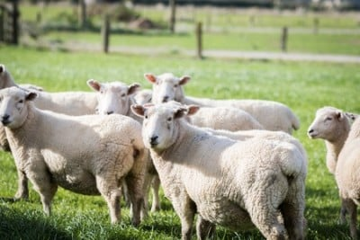 Analysis shows sheep flocking techniques can be explained by mathematical equations. Image courtesy of University of Aberdeen