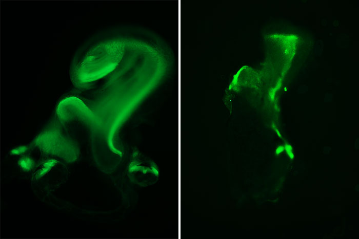 Defects throughout: Mice that did not produce Sox11 and Sox4 had malformed inner ear structures, as shown by the lining, or sensory epithelium (green), that contains hair cells. For example, in normal development (left), the cochlea (circular structure on top) and utricle (circular structure immediately below) are severely malformed in the absence of the proteins (right).