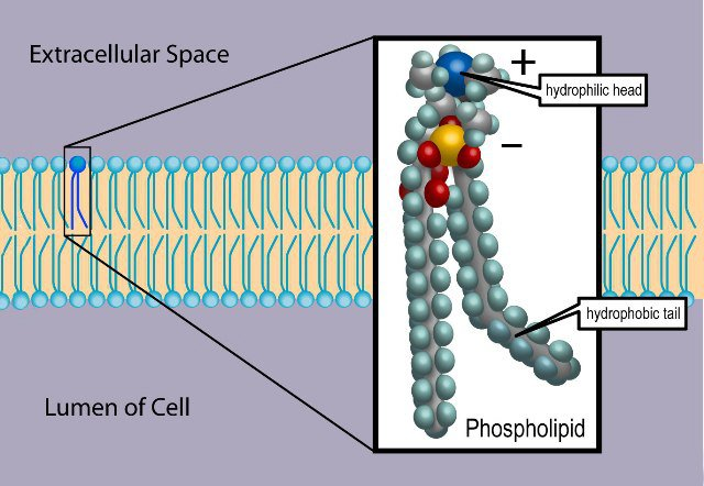 Here on Earth, cell membranes are composed of phospholipid molecules dissolved in liquid water. A phospholipid has a backbone of carbon atoms (gray), and also contains hydrogen (sky blue), phosphorus (yellow), oxygen (red), and nitrogen (blue). Due to the positive charge associated with the nitrogen containing choline group, and the negative charge associated with the phosphate group, the head is polar, and attracts water. It is therefore hydrophilic. The hydrocarbon tail is electrically neutral and hydrophobic. The structure of a cell membrane is due these electrical properties of phospholipids and water. The molecules form a double layer, with the hydrophilic heads facing outward, towards water, and the hydrophobic tails facing inward, towards one another. Credit: Ties van Brussel