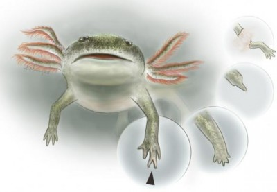 An artist's rendering of Micromelerpeton credneri from the Early Permian era in Germany. Panels show the regeneration of the forelimb, which results in a hand with malformations. Image credit: Kalliopi Monoyios