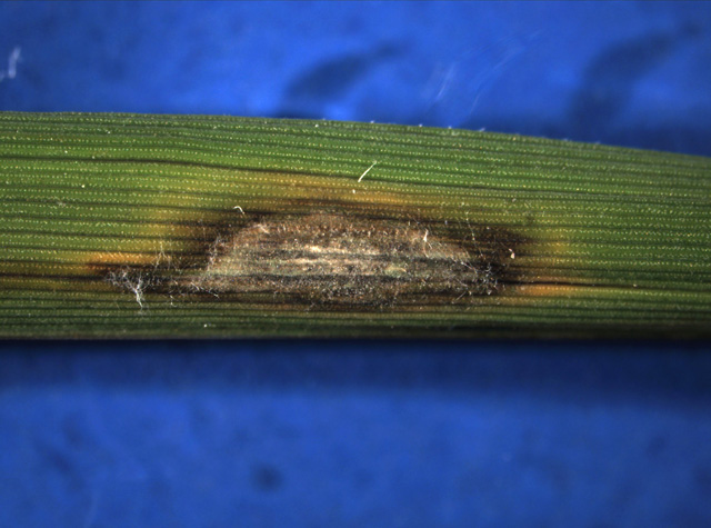 Magnaporthe oryzae fungus damages rice crops because of its tenuazonic acid. However, controlled synthesis of this acid may be useful, because of its antitumor, antibacterial, and antiviral properties. Image credit: Yulin Jia via Wikimedia, Public Domain