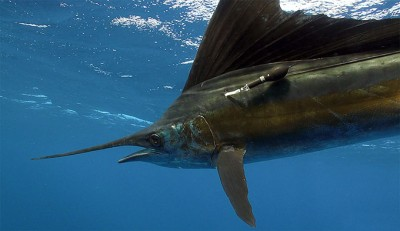 An Atlantic sailfish (Istiophorus platypterus) proceeds on its migratory route after being tagged with a pop-up satellite archival tag (PSAT). Image credit: Guy Harvey.