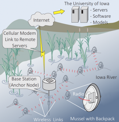 Radio signals that transmit 10 to 15 miles above water transmit only two to three yards underwater. This relatively short transmission distance is viable for this application because several mussels in a slow-moving community would be outfitted with backpacks. Each mussel would act as a node in a short-hop radio system, eventually communicating signals to a base station with a cellular link to remote servers.