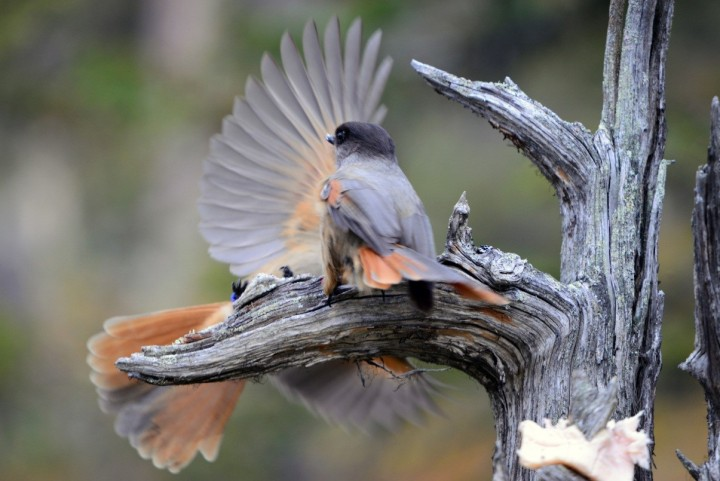 Siberian jays are tolerant towards non-breeding individuals if they are from their own offspring, but chase away unrelated non-breeders. Image credit: mediadesk.uzh.ch