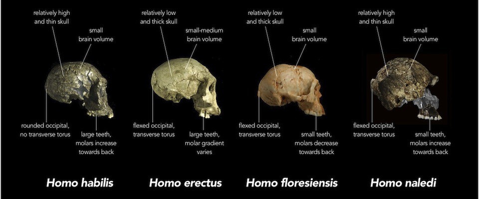 Graphic from eLife commentary on a Berger team paper, illustrating differences between the skulls of homo species.