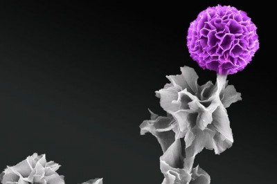 In full bloom: A scanning electron microscopy image produced by Jessica Wang of a vertical tetraanaline semiconductor crystal. Image credit: Jessica Wang