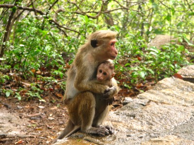 Toque Macaque in Sri Lanka. Photo credit: McKay Savage, Wikimedia Commons