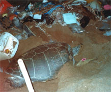 Female turtles on nesting beaches can become entangled in plastic debris. Image credit: Annette Broderick.