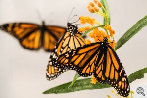 Monarch butterflies on milkweed flowers. Image credit: Austin Thomason/Michigan Photography