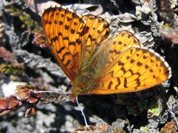 Arctic fritillary (Boloria chariclea) is one of the two species that have become smaller due to climate change. This is demonstrated in a new study by Danish researchers. The scientists have measured the wing length of nearly 4,500 individuals collected annually between 1996 and 2013 from Zackenberg, Greenland and found that the blade length decreased significantly in response to warmer summers. Image credit: Toke T. Høye