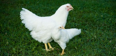 A selective mating approach within the population that started in 1957 has resulted in an over tenfold difference in the size of the chickens. Image credit: Virginia Tech/ John McCormick.