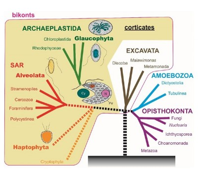 A diagram showing the hypothetical evolutionary origin of the first plant The first plant that acquired a chloroplast by the endosymbiosis of an ancient cyanobacterium might have exhibited a 3D ultrastructure in which the whole cell membrane is tightly backed by numerous leaflet-like flattened vesicles as observed in the Glaucocystis cell in the present research. A similar ultrastructure is found in other eukaryotic groups such as Haptophyta, Cy: cyanobacterium; Fv: flattened vesicle; m: mitochondrion; N: nucleus. Image credit: Toshiyuki Takahashi.