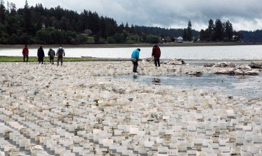 A geoduck farm in Puget Sound's Case Inlet. Image credit: Sean McDonald/University of Washington