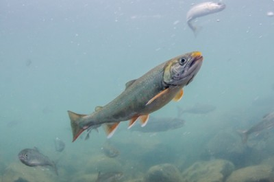 Dolly Varden with mature spawning coloration in Alaska's Newhalen River. Image credit: Morgan Bond