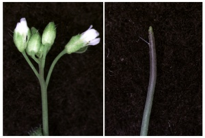 Instead of flowers, plants with mutations in certain chromatin remodeling genes developed pin-like structures (right).