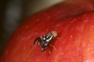 A Rhagoletis pomonella fly explores the derived host fruit, apple. Image credit: Andrew Forbes