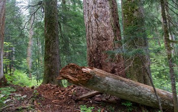 Nutrients from decomposing logs go back to the forest floor, where they feed life in soils. Image credit: NSF H.J. Andrews LTER Site