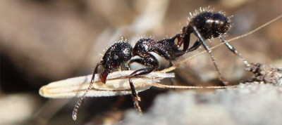Harvester ant with seed. Photo credit: Noa Pinter-Wollman/UC San Diego
